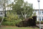 Sturmschaden - Orkan Christian blies der Mammut-Birke das Leben aus…